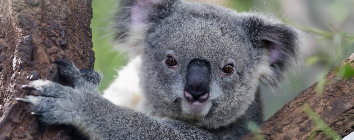 What Sound Does A Koala Make?