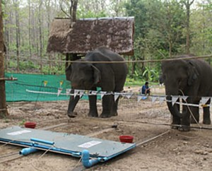 Elephants Outwit Humans During Intelligence Test