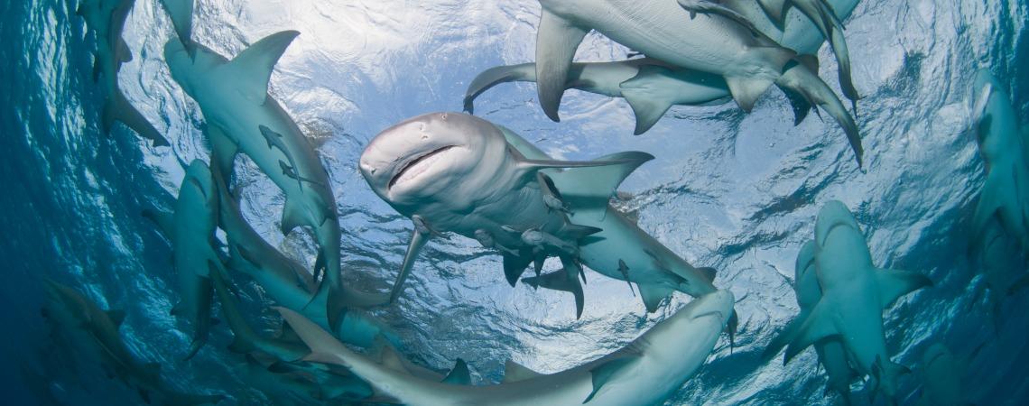 Lemon sharks swimming in a circle near the surface, Bahamas