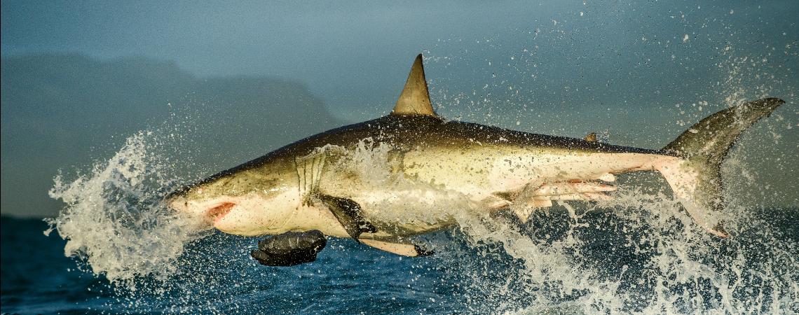Shark RS