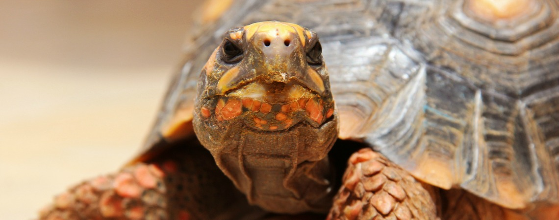 Do You Know What A Tortoise's Favorite Snack Is?