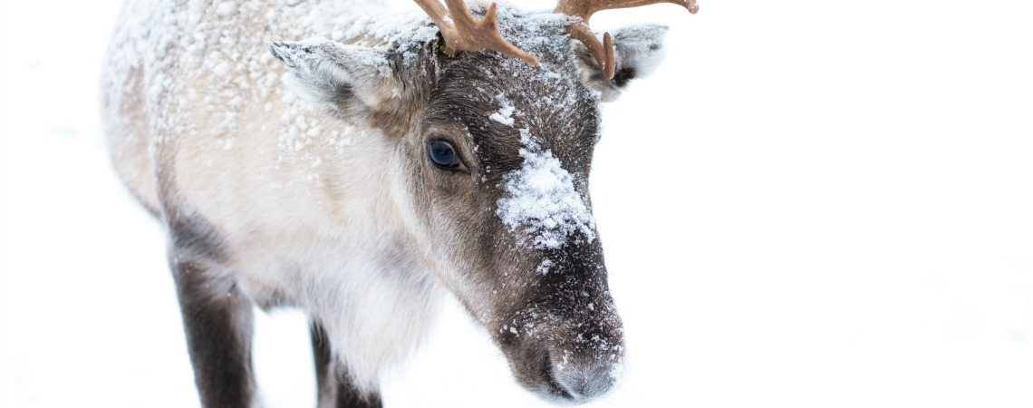 Rudolph may not be the only reindeer with a shiny red nose.