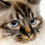 Birmans are well-known for their white paws that look like gloves.