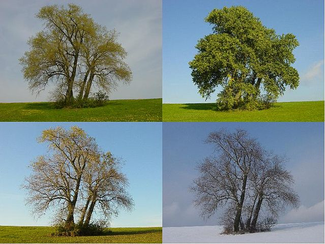 Four_Poplars_in_four_seasons
