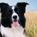All breeds in the Herding Group share the fabulous ability to control the movement of other animals. Many of these dogs will gently herd their owners, especially kids!