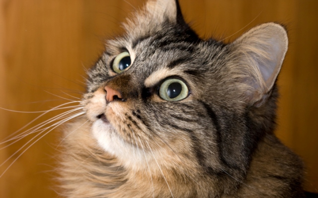 Highly Active Cat Breeds