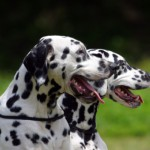 This group of dogs is a big mix of all sizes, shapes and colors, including the bulldog, dalmatian and poodle.
