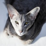 This cat could be the Siamese's twin, but it's more like a cousin. Orientals do have some Siamese in them, but they usually have other breeds mixed in as well.