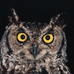 The distinct hoot of the nocturnal owl can make a dark night seem spooky. This bird has long been connected to Halloween superstitions surrounding ghosts, death and wizardry.