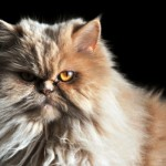 The persian is a long-haired cat. This breed originates from Persia (now Iran) and is one of the most popular cats in America.
