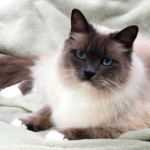 This breed is fairly new and is most known for its blue eyes and pleasing personality.