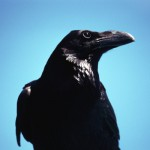 These black birds eat carrion (dead animals) so they have earned their reputation of always being around death.