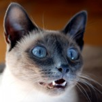 Siamese cats are part of the Oriental group. These kitties sometimes sound like a baby crying when they purr.
