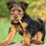 Terriers are a feisty group. They range in sizes from small, like the West Highland White Terrier, to the grand Airedale Terrier.