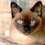 """Often called """"Tonks"""", these felines are a cross between the Siamese and Burmese breeds. They are very talkative and make excellent pets."""