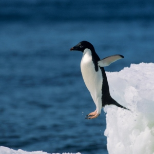 do-all-penguins-live-in-cold-climates-300