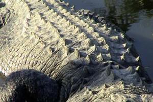 exp-alligator-scales