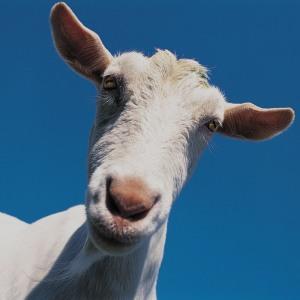 fainting-goat-300