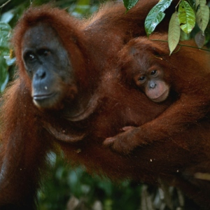 get-the-facts-on-orangutans-300