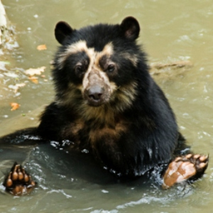 get-the-facts-on-spectacled-bears-300