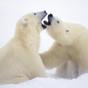 learn-more-about-polar-bears-300