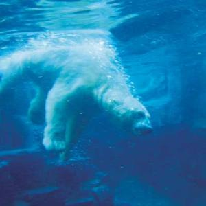 polar-bear-swimming-300