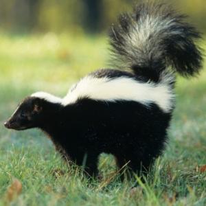 skunk-smell-300