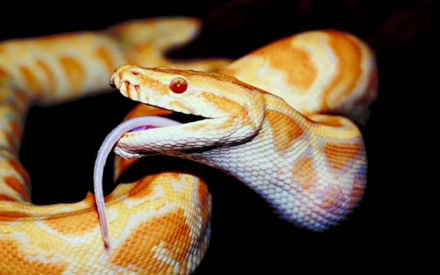 A Snake's Tongue