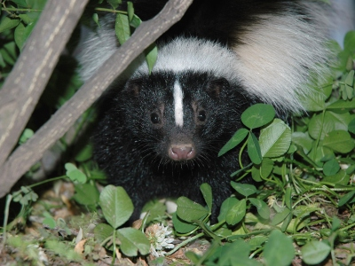 why-are-skunks-black-and-white-400